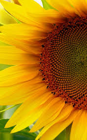 foto wallpaper bunga matahari sunflower live wallpaper 1mobile com