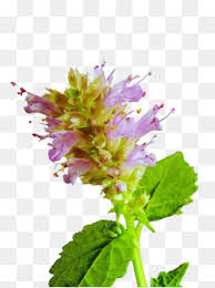 mint flowers mint flower flowers mint fragrant png image and clipart for