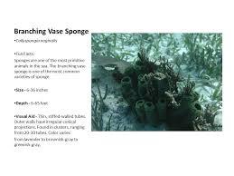 Azure Vase Sponge Facts Saltwater Invertebrates Ppt Video Online Download