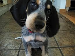 bluetick coonhound genetics 25 best blue tick hound images on pinterest bluetick coonhound