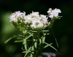 mint flowers slender mountain mint mdc discover nature