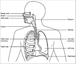 respiratory system coloring page coloring home
