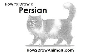 how to draw a persian cat