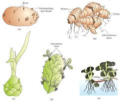 Vegetative Propagation By Roots - ncert class xii biology chapter 1 reproduction in organisms