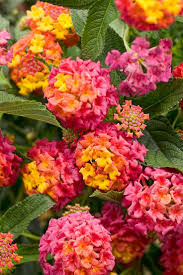 Heat Resistant Plants 460 Best Container Plants For Full Sun Images On Pinterest