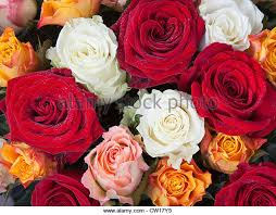 Colored Roses Different Color Roses Yellow Stock Photos U0026 Different Color Roses