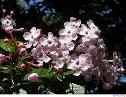 fragrant flowers of the week luculia fragrant flowers bloom on shrub sfgate