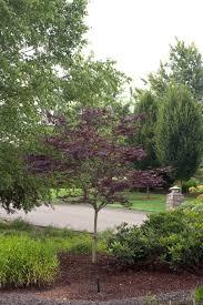 native japanese plants emperor i japanese maple monrovia emperor i japanese maple