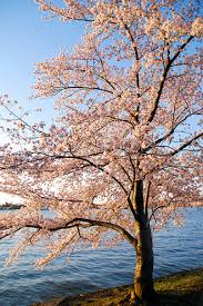 the cherry blossom tree the secret of invites