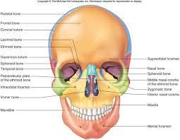 anterior bones of the skull human pictures best 25 skull anatomy