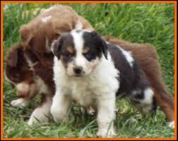 australian shepherd 4 weeks old mini aussie pup for sale litter 1 paris pup 2 red merle mini
