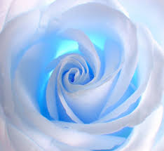 white blue roses white blue stock photo image of postcard nature 622696