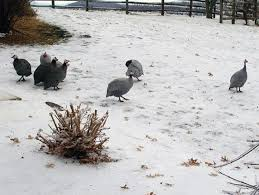 guinea fowl care winter care and housing