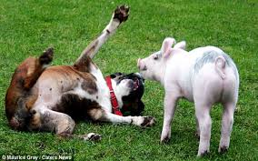 boxer dog disposition boxer and pig get into cute wrestling match video one green planet