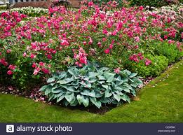 rose bed c8 alamy com comp cehp6k rose bed with solitary cl