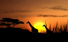giraffes in culture giraffe facts and information