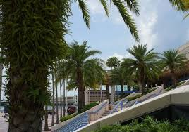 sylvester date palm tree hillsborough is ground zero for a disease killing palms across the