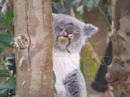 Koala Meme Generator - weed koala blank template imgflip