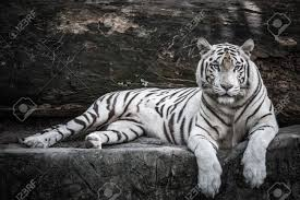 white tiger stock photo picture and royalty free image image