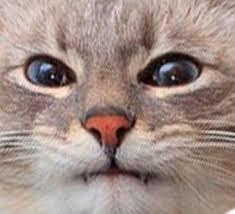 To Kill A Mockingbird Cat Meme - blini cat blini cat know your meme
