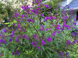 native plants of new york native spotlight new york ironweed