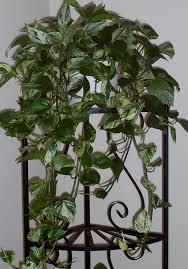 Indoor Vine Plants Wonderful Vine House Plants 122 Types Of Vine Houseplants House