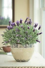 lavender indoor the scent of lavender is well known for its power