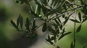 olive tree branch italy hd stock 678 532 637 framepool