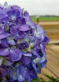 purple hydrangea endless summer bloomstruck hydrangea plantsbymail