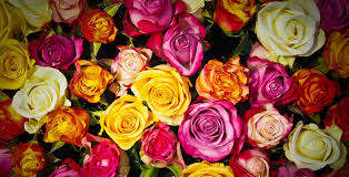 Meaning Of Pink Roses Flowers - know your roses meaning of the white rose in thailand centre