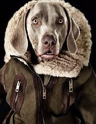 386 best weim images on dogs weimaraner and doggies