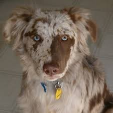lifespan of australian shepherd aussiedor australian shepherd labrador retriever mix info and