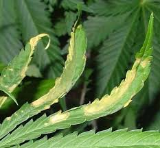 how much light do pot plants need worldwide indoor marijuana grow guide the best and easy way