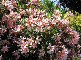 native houston plants image result for dwarf oleander plant materials for houston