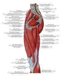 Lateral Patellar Ligament Right Thigh Muscles 1 Tibialis Anterior 2 Pes Anserinus 3