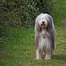 bearded collie mini the bearded collie is considered as one of britain u0027s oldest breeds