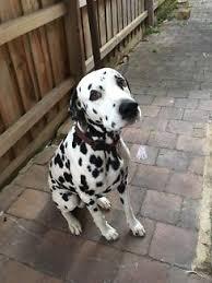 dalmatian dogs u0026 puppies sale gumtree australia