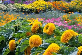 teddy sunflowers helianthus annuus teddy common sunflower