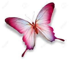 pink butterfly isolated on white stock photo picture and