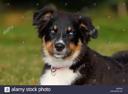 australian shepherd dog puppies australian shepherd dog black tricolor puppy with blue eyes
