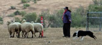 australian shepherd herding sheep about herding trials u2014 on the lamb herding