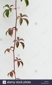 creeper plants stock photos u0026 creeper plants stock images alamy
