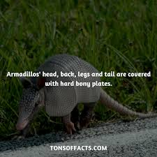 Armadillo Meme - their head back legs and tail are covered with hard bony plates