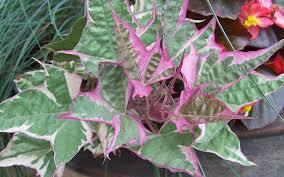tricolor sweet potato vine annual plants