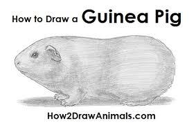 draw guinea pig