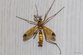 discover photos of crane flies jungledragon