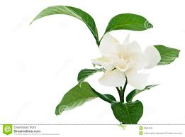 white common gardenia or cape jasmine flower stock photo image