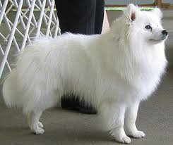 american eskimo dog samoyed what are all the other types of dogs that are similar to a husky