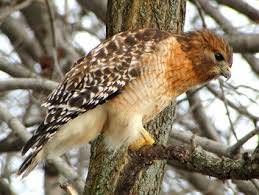 shouldered hawk identification all about birds cornell lab