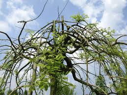 plants native to japan what is sophora japonica u2013 learn about japanese pagoda tree care